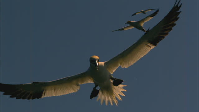 ms into cu gannet flies to camera and calls with bass rock in background - gannet stock videos & royalty-free footage