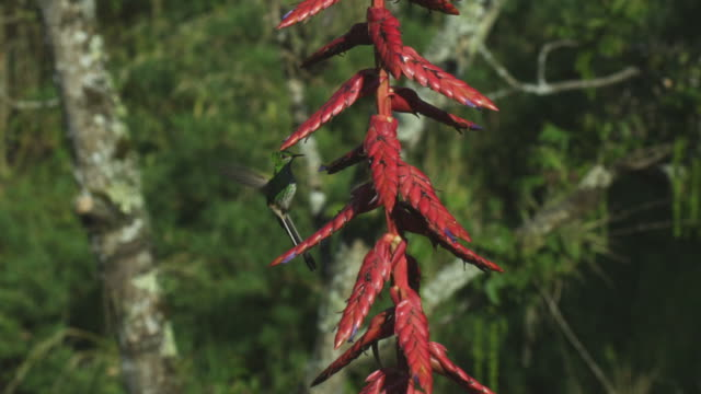 WS into MS Green Hummingbird feeds in profile from red flower spike using tail to balance