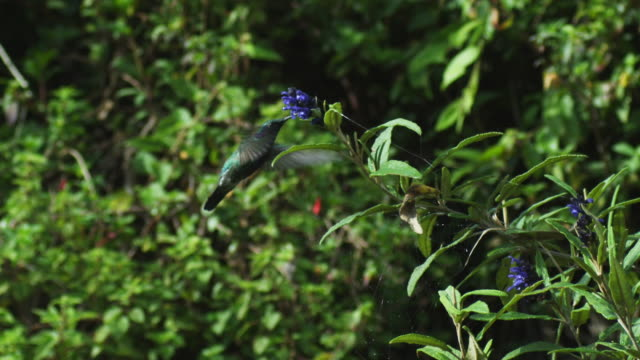 WS into MS Green Hummingbird feeds in profile from tilted flower spike