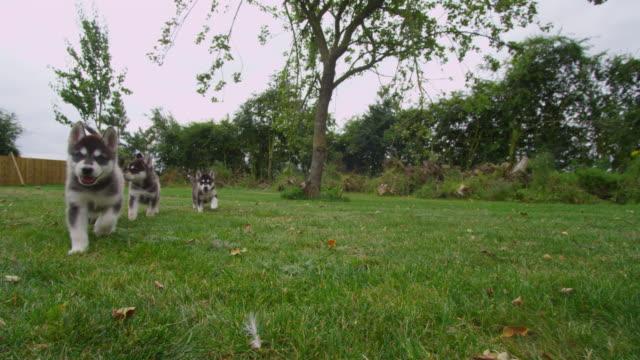 ws into cu group of tamaskan pups run up to camera in garden - kleine gruppe von tieren stock-videos und b-roll-filmmaterial