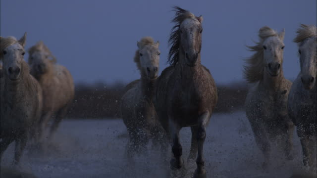 slomo ms into cu group of white camargue horses gallop towards camera through shallow sea on marsh - 記錄片鏡頭 個影片檔及 b 捲影像