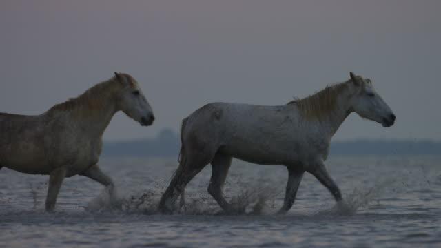 vídeos y material grabado en eventos de stock de ms into cu group of white camargue horses trot to camera in shallow sea in dawn light - grupo mediano de animales