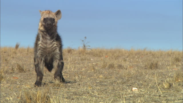 MS into CU PAN Hyena runs nervously towards camera across dry grassland