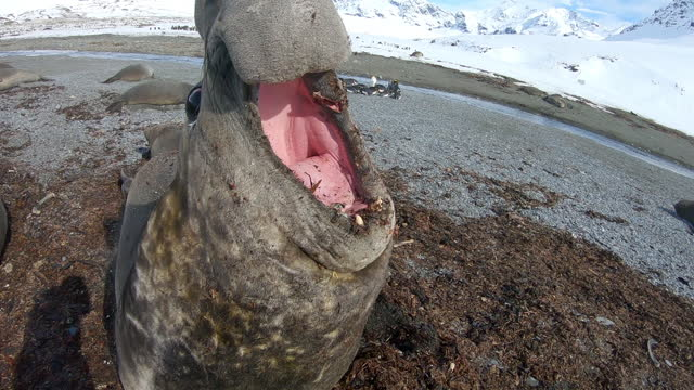 slomo ha ms into cu male southern elephant seal breathes out steam then strikes towards camera - southern elephant seal stock videos & royalty-free footage