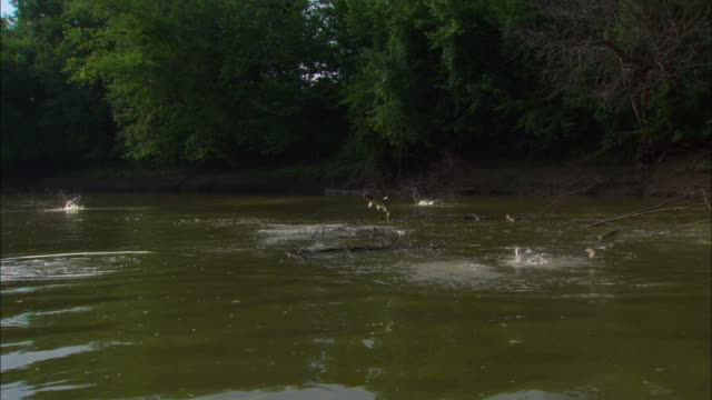 WS into MS massed Asian Silver Carp jumping out of river near bank