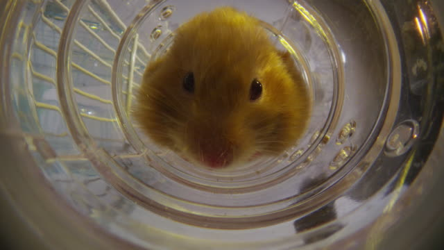 vidéos et rushes de ecu into ws pet syrian hamster backs away from camera down tube then turns round - devant derrière