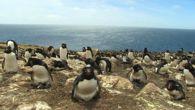 ws into ms rockhopper penguin colony with adults on eggs and chicks - large group of animals bildbanksvideor och videomaterial från bakom kulisserna