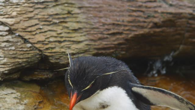 cu into ecu rockhopper penguin stands then walks away to drink from stream - flightless bird stock videos & royalty-free footage