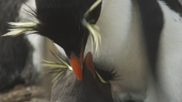 vídeos de stock, filmes e b-roll de cu into ms rockhopper penguins mating with third penguin pecking at male - female animal