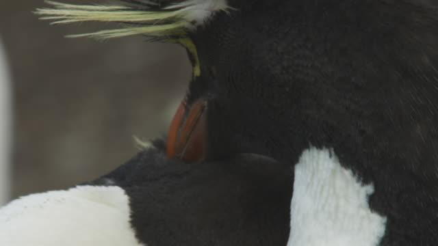 CU into ECU Rockhopper Penguins mutual preening