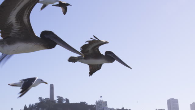 CU into MS SLO MO track behind Brown Pelican flying low over water in San Francisco harbour