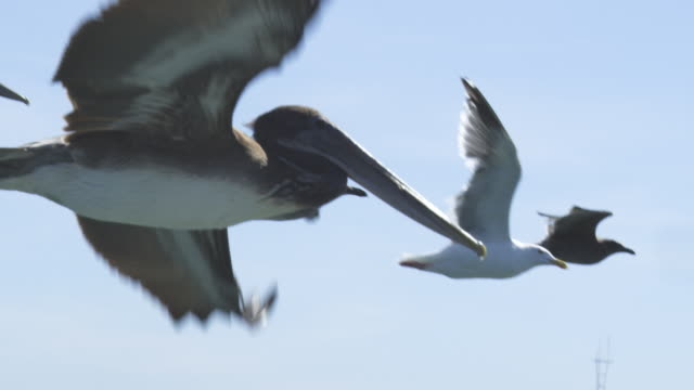 MS into CU SLO MO track with Brown Pelican flying low over water in San Francisco harbour with yacht in background