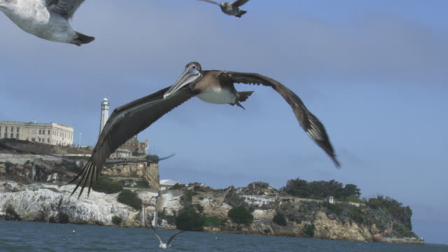 ms into cu slo mo track with brown pelican flying low over water in san francisco harbour with alcatraz prison in background - north beach san francisco stock videos and b-roll footage