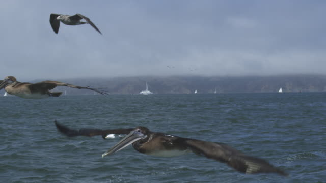 MS into CU SLO MO track with Brown Pelican flying low over water