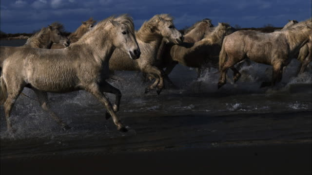 slomo ms into cu track with group of white camargue horses galloping  through shallow sea on marsh - gallop animal gait stock videos & royalty-free footage