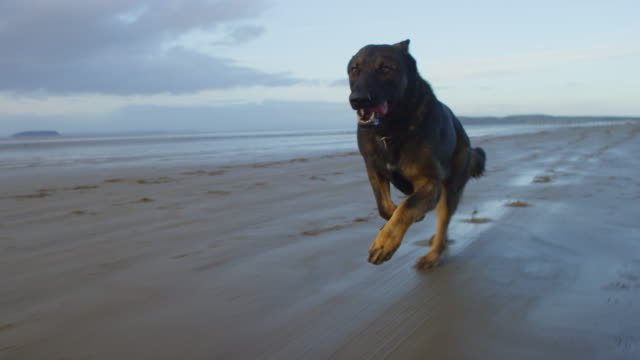 ws into ms track with pet alsatian dog running on beach - day stock videos & royalty-free footage