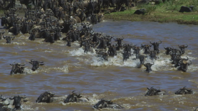 slomo ws into cu wildebeest herd swim across river to camera and climb out onto riverbank - wildebeest stock videos & royalty-free footage