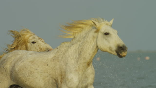 SLOMO MS into CU PAN with group of white Camargue horses galloping in profile through shallow sea