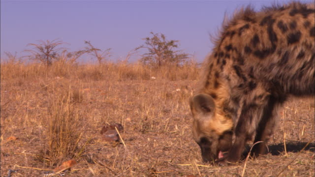 ms into cu pan with hyena sniffing ground and picking up food very close to camera - smelling stock videos & royalty-free footage