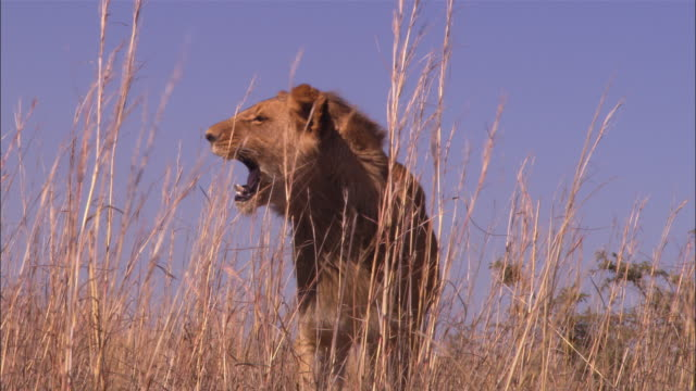 pan ms into cu with immature male african lion roaring then trotting through long grass very close to camera  - 歯をむく点の映像素材/bロール