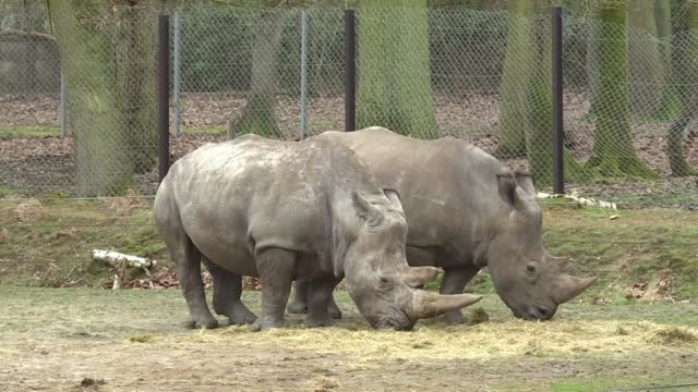 intruders at a french zoo shot dead a fouryearold southern white rhino named vince and hacked off its horns in a grisly overnight poaching incident... - french horn stock videos and b-roll footage