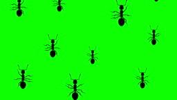 Invasion of ants