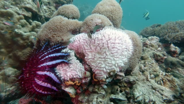 invasive species crown of thorns starfish (acanthaster planci) eating coral - esoscheletro di animale video stock e b–roll