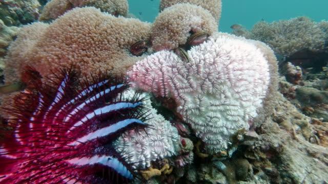 vídeos de stock e filmes b-roll de invasive species crown of thorns starfish (acanthaster planci) eating coral - acidificação dos oceanos