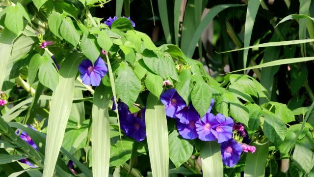 ipomoea purpurea in canes, llobregat river, barcelona. - morning glory stock videos & royalty-free footage