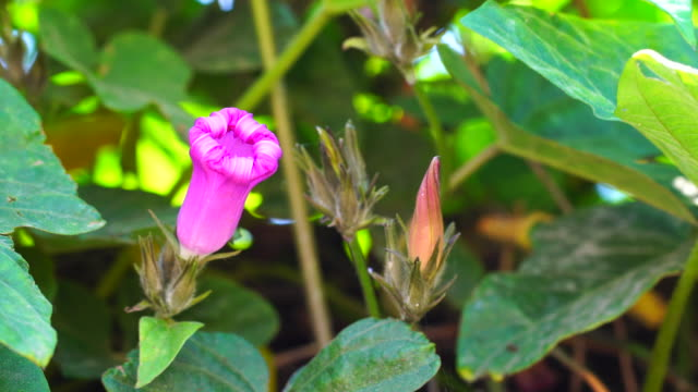iponmea indica flowers in 4k - morning glory stock videos & royalty-free footage