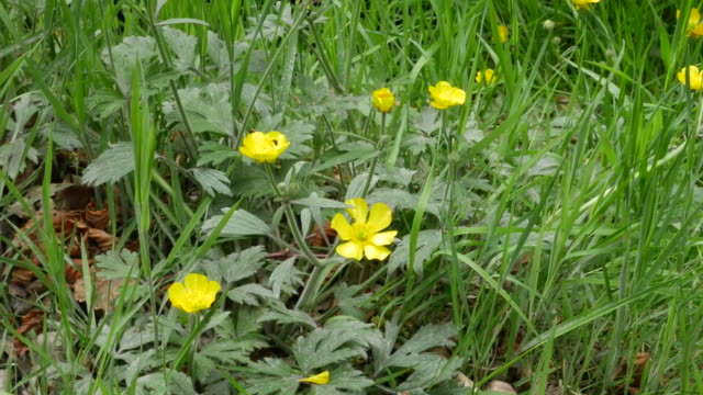 ireland buttercup flower - wildflower stock videos and b-roll footage
