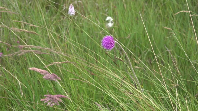 ireland clara bog meadow thistle - thistle stock videos & royalty-free footage