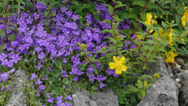 Ireland County Clare Adria Bellflower and Hoary Rockrose