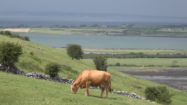 Ireland County Clare cow grazing on hillside above estuary