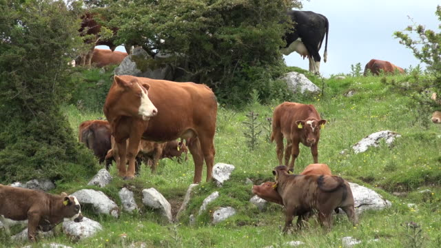 ireland county clare cows and calves - kalb stock-videos und b-roll-filmmaterial