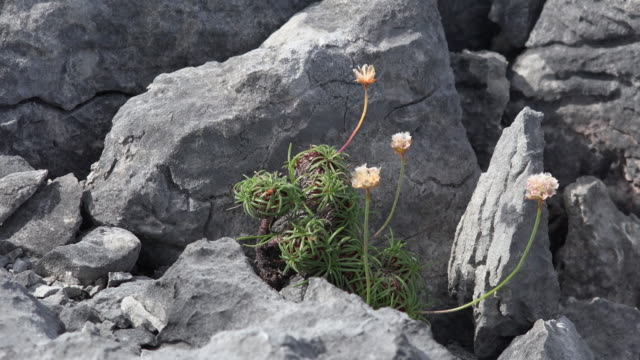 Ireland County Clare the Burren flower and limestone rock
