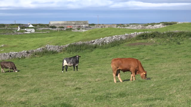 ireland doolin view with steers and stone wall - doolin stock videos & royalty-free footage