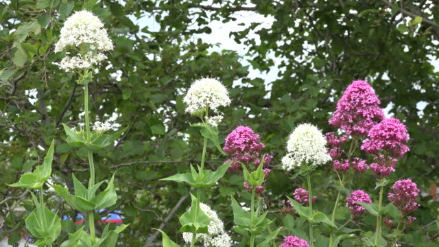 ireland pink and white flowers of centranthus ruber or red valerian - perennial stock videos & royalty-free footage