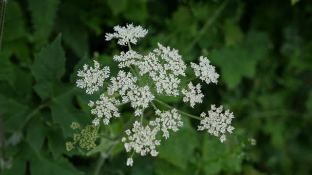 ireland queen anne's lace - wildflower stock videos and b-roll footage