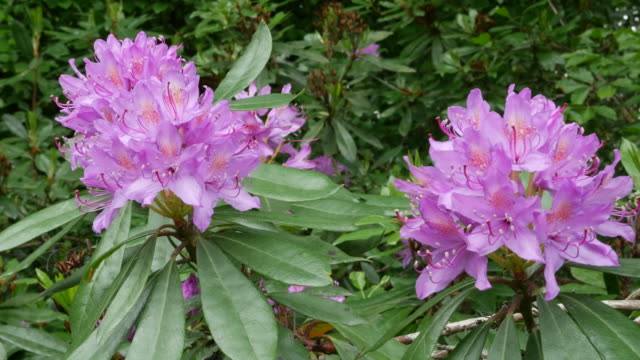 ireland rhododendron flowers - rhododendron stock videos and b-roll footage
