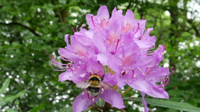 Ireland rhododendron pink flowers with bumblebee