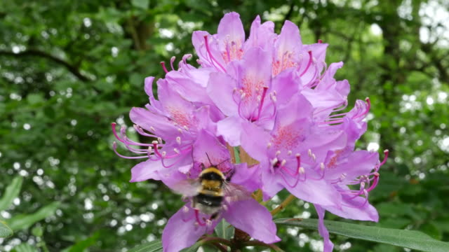 ireland rhododendron pink flowers with bumblebee - bumblebee stock videos & royalty-free footage