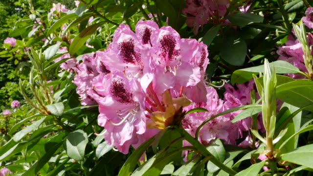ireland rhododendrons pink and magenta flowers in sun - rhododendron stock videos and b-roll footage