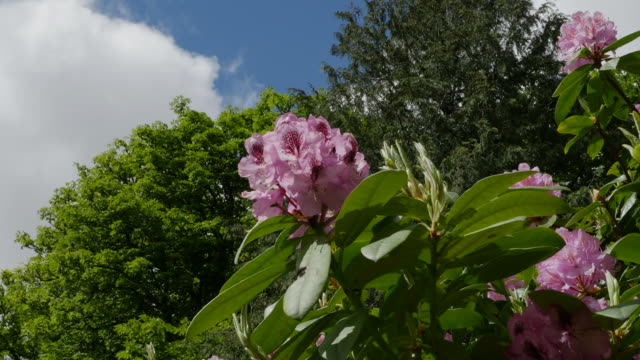 ireland rhododendrons pink and magenta flowers up high zoom in - rhododendron stock videos and b-roll footage