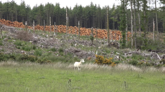 vídeos de stock e filmes b-roll de ireland sheep by cut over area - coniferous