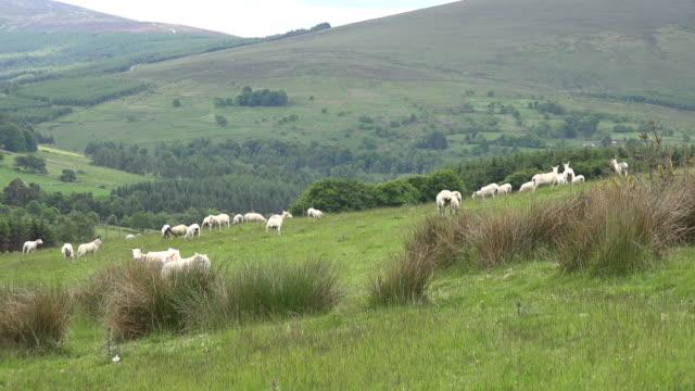Ireland sheep on slope