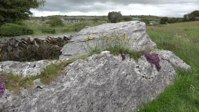 Ireland the Burren limestone rocks with wild thyme and hawksweed