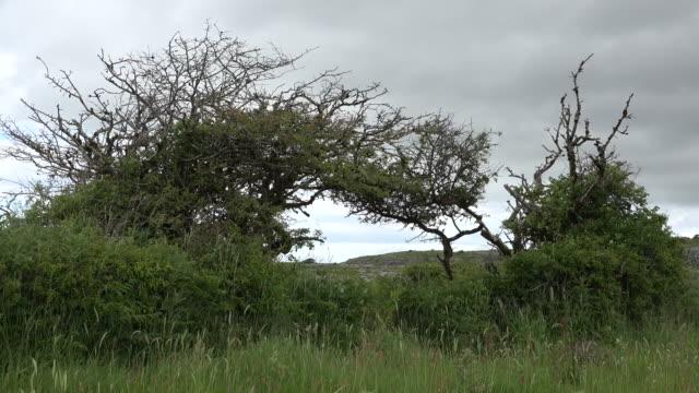 ireland the burren thorn tree - ねじれた点の映像素材/bロール