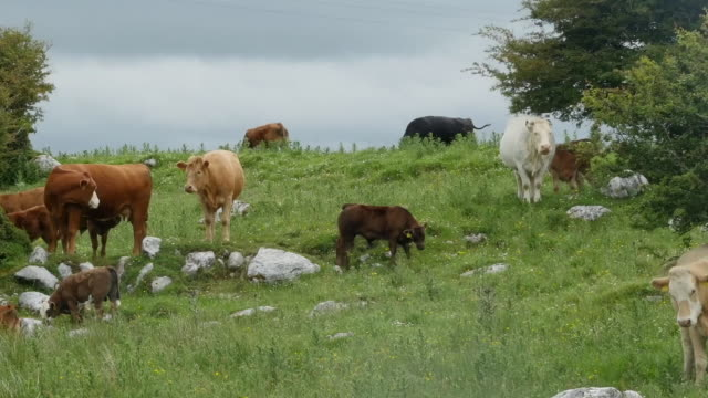 Ireland the Burren with cattle in pasture pan