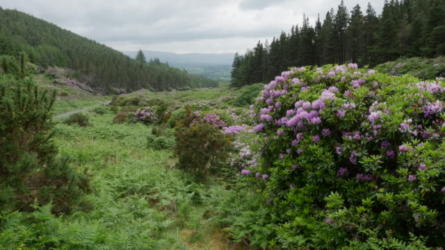 ireland the vee rhododendron covered slopes - woodland stock videos & royalty-free footage